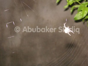 A Spider making web at night - at the Spiders Garden